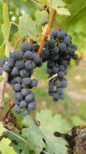 Vin BIO, Biodynamie et Naturel