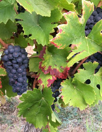 Des raisins de vignerons