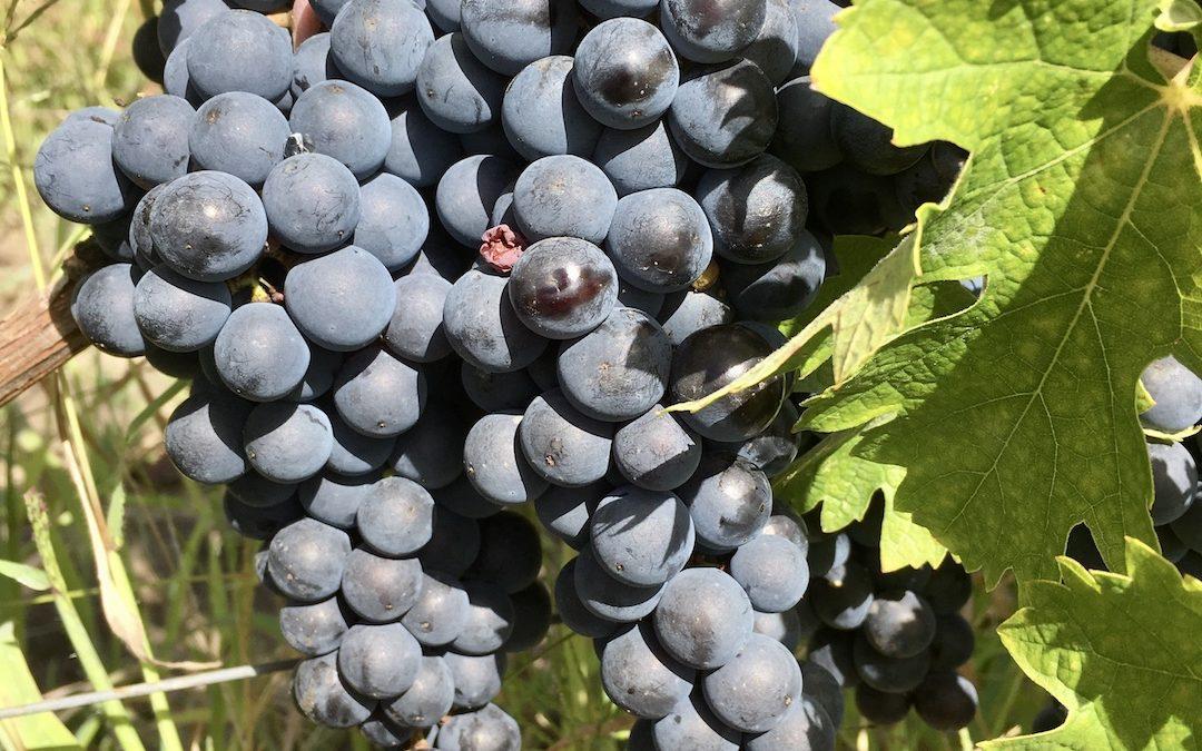 Cépage Merlot, image On s'occupe du Vin