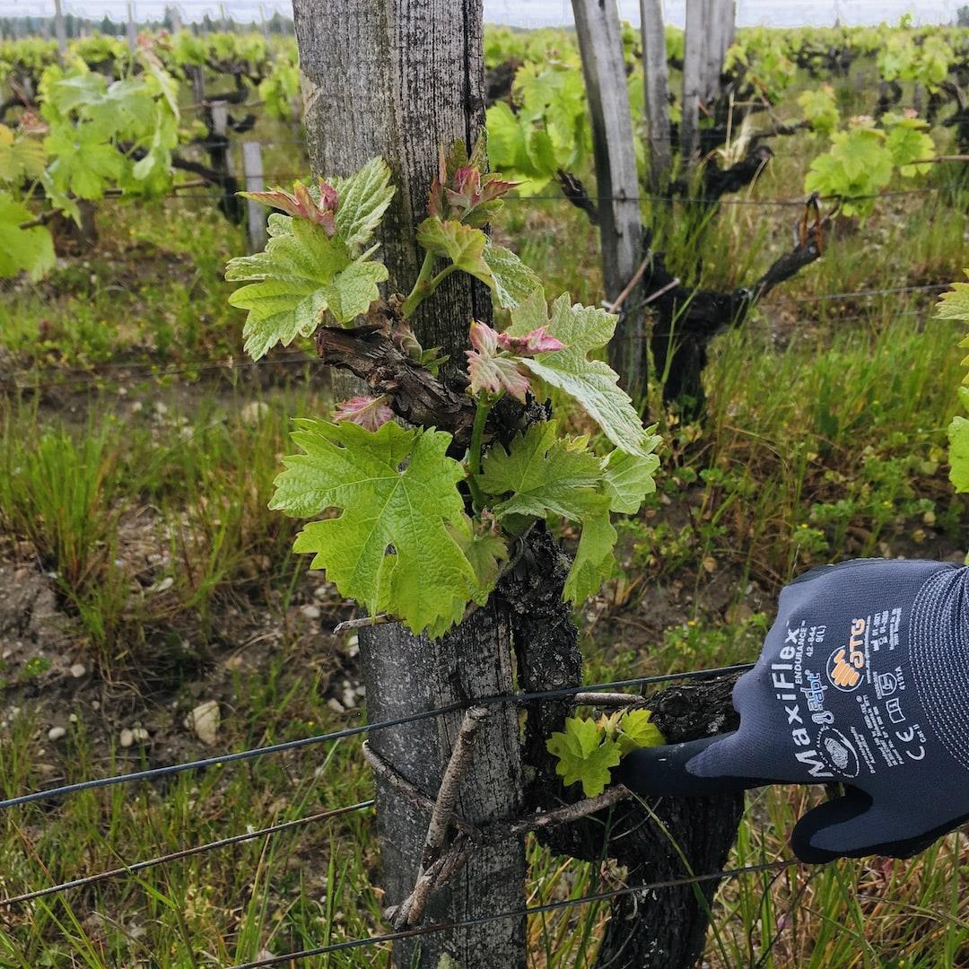 On s'occupe du Vin, travail à la vigne épamprage